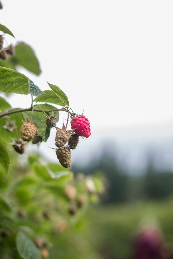 raspberrypicking-6181